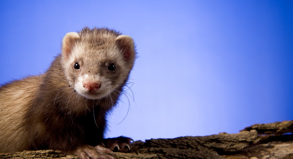 What can a Californian ferret teach us about the design challenges of today?