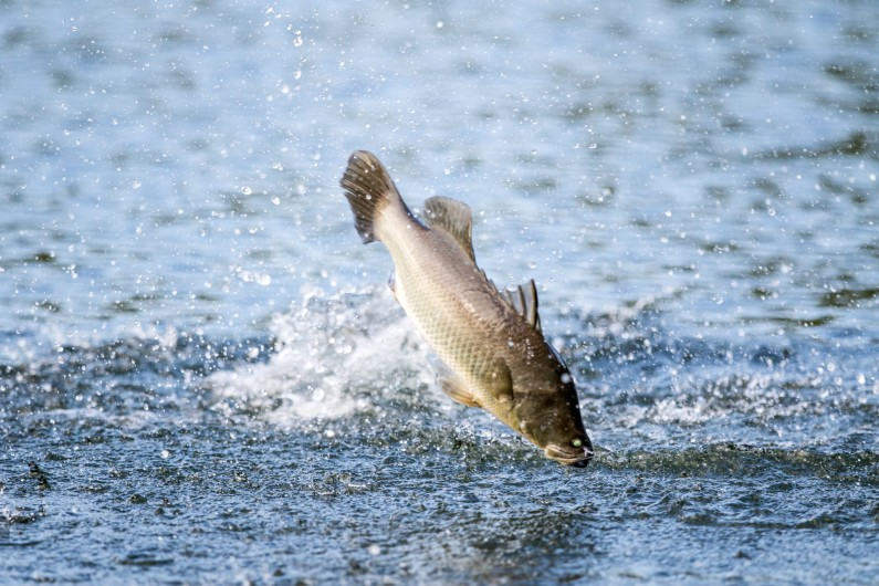 Don't count your fish before they hatch: experts react to plans to release 2 million fish into the Murray Darling