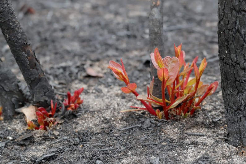 What can Australia's pandemic response teach us about bushfire recovery?