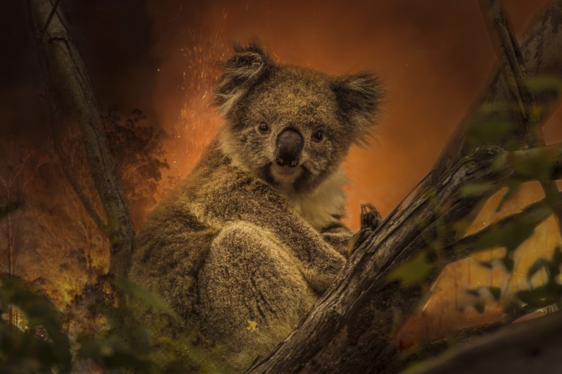 NSW government avoids shakeup over koala policy … for now