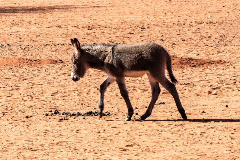 Feral desert donkeys are digging wells, giving water to parched wildlife