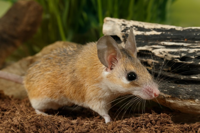 Meet the Egyptian spiny mouse: this menstruating rodent may help us understand human pregnancy