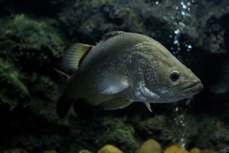 Lake Kununurra in WA's East Kimberly has been restocked with barramundi, as part of government efforts to lure more recreational fishers to the area.